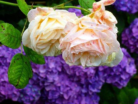 Rose, Hydrangeas, Flowers, Garden, Beautiful, Blossom