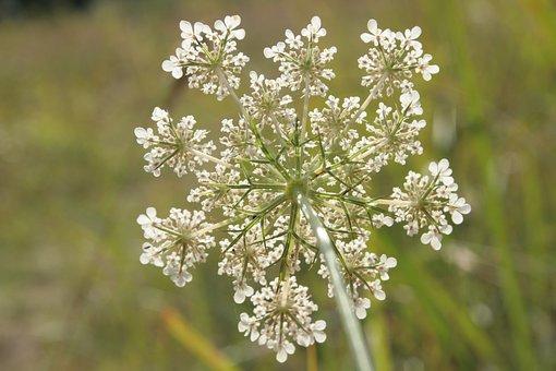 Wild Carrot, Daucus Carota, Wild Plant, Flowers, Close