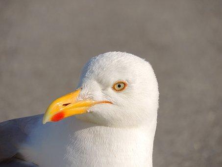 Seagull, Herring Gull, Bird, Water Bird, Species