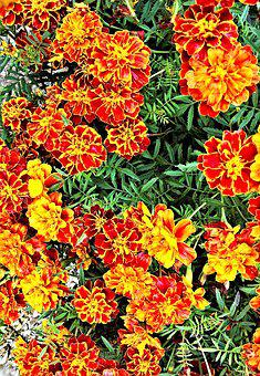 Marigold, Many Flowers, Yellow, Orange, Brown