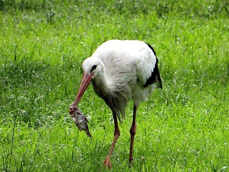 White Stork, Ciconia Ciconia, Bird, Nature, Meadow
