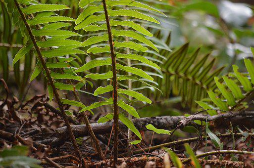 Fern, Undergrowth, Forest, Nature, Leaf, Leaves