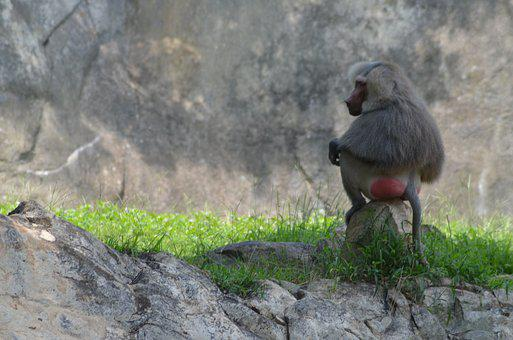Baboon, Zoo, Animal, Outdoors, Nature