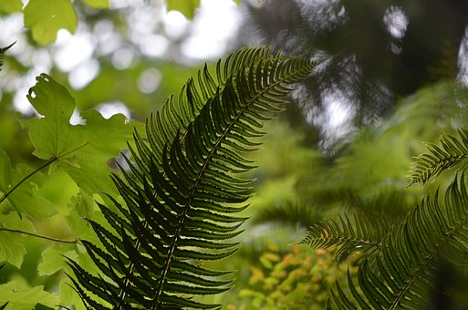 Fern, Forest, Nature, Plant, Green, Leaf, Wild, Leaves