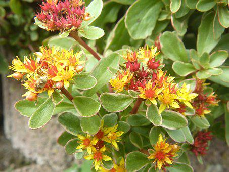 Ground Cover, Flower, Pointed Flower, Plant, Blossom