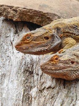 Lizard, Reptile, Portrait, Scale, Yellow, Nature