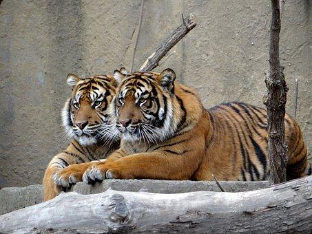 Sumatran Tiger, Nature, Predator, Tiger, Mammal, Cat