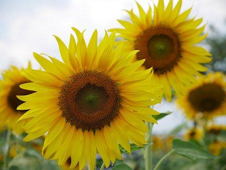 Sunflower, Flowers, Yellow Flowers, Bee, Bright