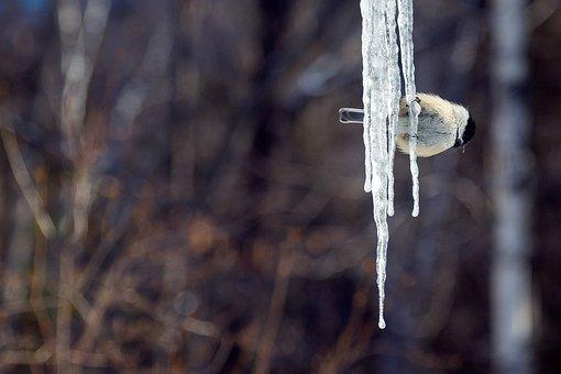 Tit, Ice, Bird, Contrast, Snow, Snowy, Cold