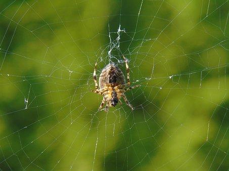 Spider, Network, Cobweb, Nature, Garden, Animal, Prey