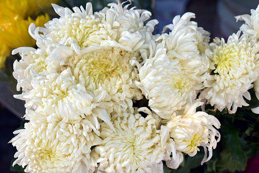 White Spider Mums, Chrysanthemum Flower, White Flowers
