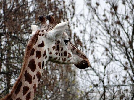 Giraffe, Nature, Tanzania, Safari, Wild, Animal, Mammal