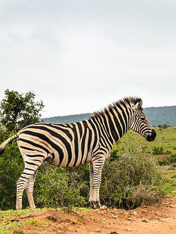 Zebra, Africa, National Park, Wild Animal, Animal