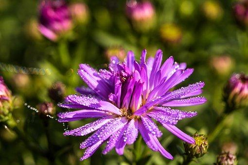 Aster, Herbstaster, Dewdrop, Droplets, Wet, Blossom