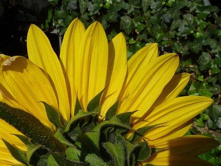Sun Flower, Autumn, Yellow, Green, Flower, Summer