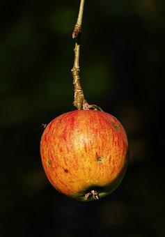 Apple, The Last Apple, Autumn, Tree, Apple Tree