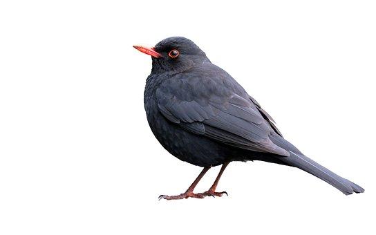 Blackbird, Isolated, White, Background, Bird, Animal