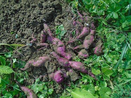 Batáta, Sweet Potato, Ipomoea Bata Depression