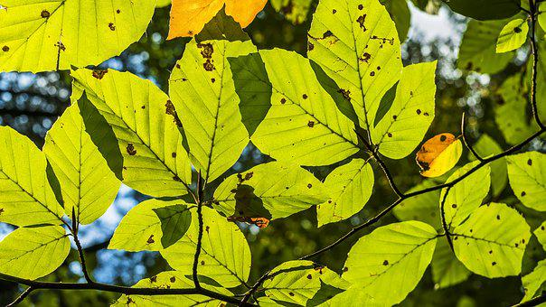 Beech Leaves, Leaf Structures, Veins, Book Industry