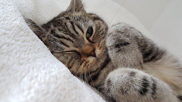 Cat, Fur, White, Eye, Cat's Eye, Ears, Cat Ears