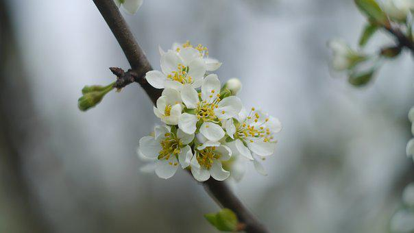 Cherry, Flower, Closeup, Blooming Tree
