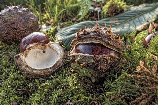 Chestnut, Common Rosskastanie, Aesculus Hippocastanum