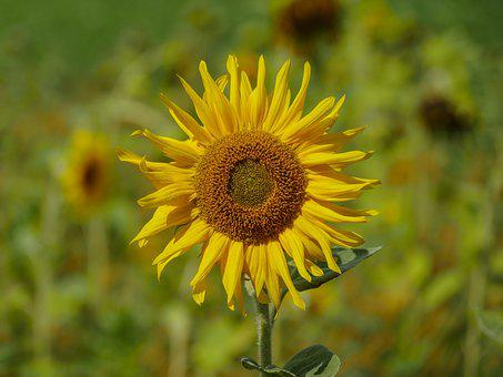 Sun Flower, Blossom, Bloom, Field, Summer, Alone