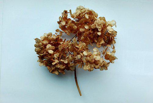 Autumn, Hydrangea, Flowers, Nature, Flora