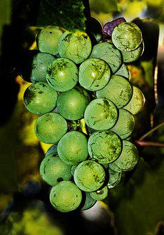Grapes, Gewürztraminer, Vine, Berries, Wine Berries