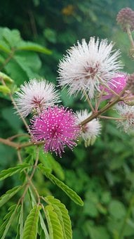 Green, Leafs, Pink White, Flower S, Touch Me Not, Plant