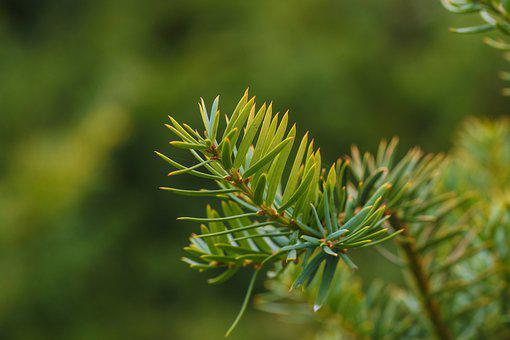 Pine Needles, Green, Nature