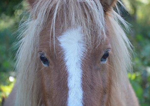 Shetland Pony, Small Horse, Next To Horse, Head