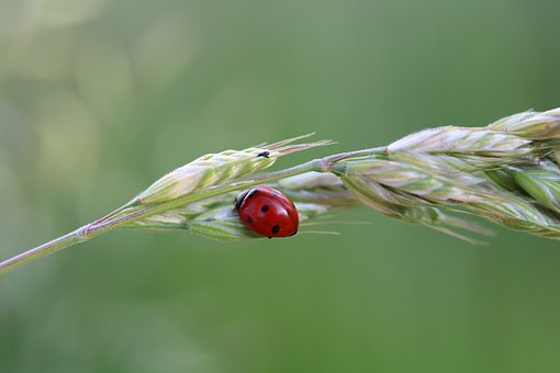 Ladybug, Luck, Insect, Nature, Siebenpunkt