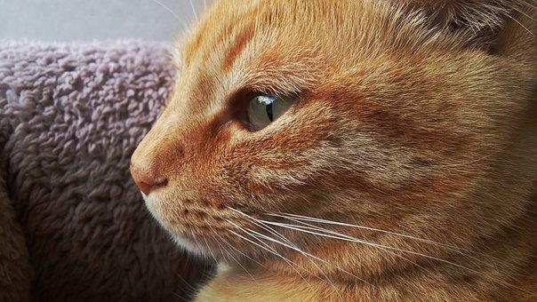 Cat, Eyes, Orange, Pet, Look, Animal, Kitty, Kitten
