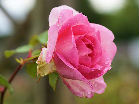 Rose, Flower, Blossom, Bloom, Pink, Nature, Pink Rose