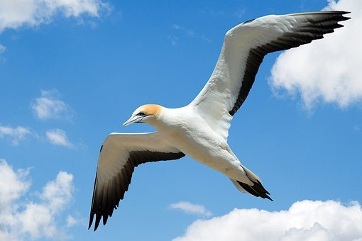 Gull, Gannet, Seagull, Sea Gull, Bird, Flight, Fly, Sky