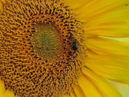 Sun Flower, Bee, Pollination, Pollen, Bee Pollen