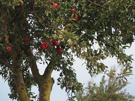 Apple Tree, Apple, Tree, Fruit, Nature, Autumn