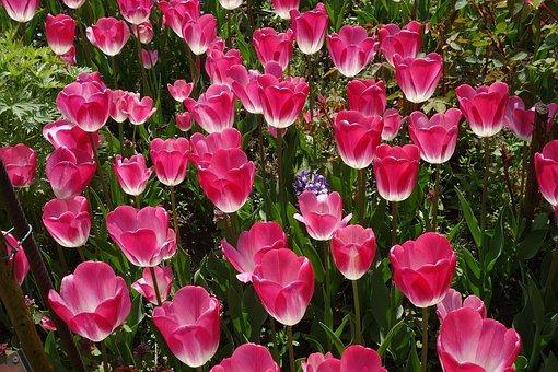 Tulips, Tulip Bed, Tulip Sea, Tulpenbluete, Spring