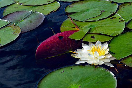 Water Lily, White, Water, Nature, Pond, Plant, Lotus