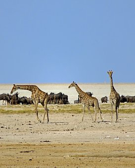 Giraffes, Wildebeest, Africa, Animals, Safari, Savannah