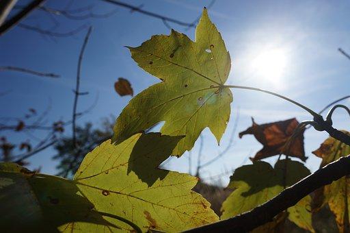 Autumn, Leaves, Maple, Mountain Maple, Sun, Shadow