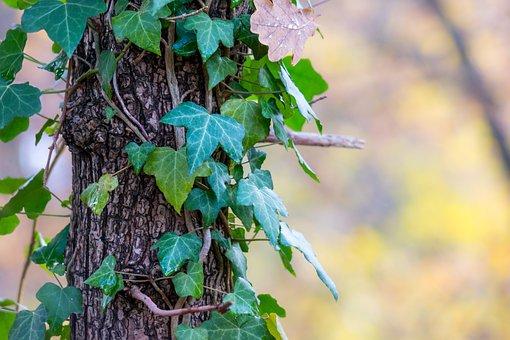 Ivy, Log, Autumn, Bark, Climber Plant, Creeper, Tree