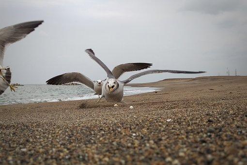 Sea, Beach, Seagull, Seabird, Wild Birds, Wild Animal