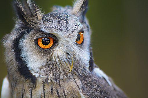 Owl, Bird, Animal, Nature, Portrait, Eyes, Beak, Brown