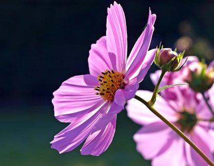 Cosmea, Blossom, Bloom, Cosmos, Cosmos Flower, Violet