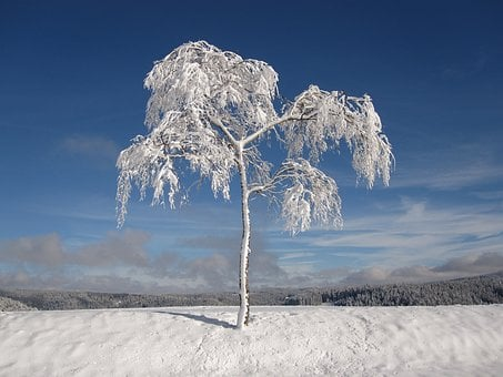 Winter, Snowy, Firs, Christmas, Cold, Snow, White, Blue
