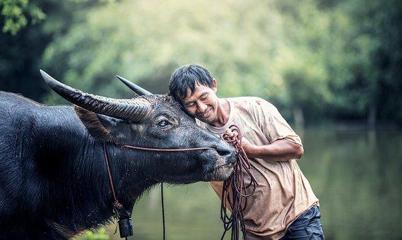 Animals, Asia, Buffalo, Cambodia, Cow, Farm, Farmer
