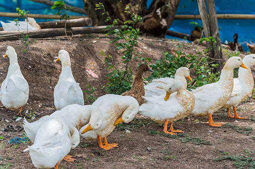 Duck, Thailand, Field, Rice, Chase, White, Beautiful