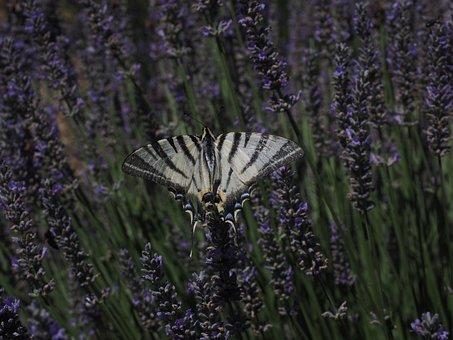 Dovetail, Butterfly, Swallowtail Butterflies